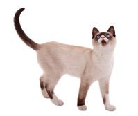 cute siamese cat standing