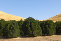 Orchard of Ripening Navel Oranges