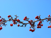 Crabapple tree branch
