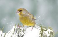 Greenfinch in wintertime
