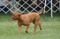 Dogshow dog