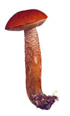 bright isolated orange-cap mushroom