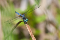 Colorful Blue Dasher (Male) Dragonfly