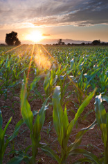 Evening Corn Field