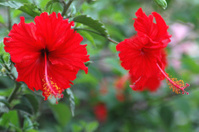 ruffly red hibiscus flowers
