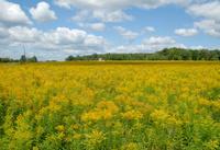 Cloud shadows play across goldenrod field