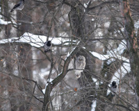 Ural owl in accompanied by agressive crowes