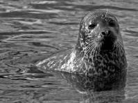 Seal in B?W