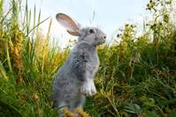 Cautious hare