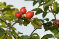 Rose hip tree