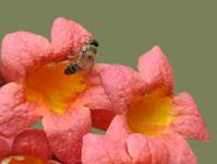 Honey Bee in Cross-Vine