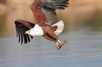 Fish Eagle hunting