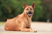 Thai Ridgeback Dog in Happy Emotion