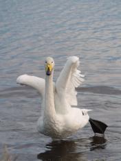Dancing whooper swan