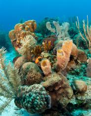 Caribbean coral gardens