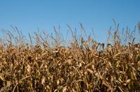 Cornfield in fall