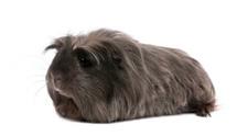 Side view of Peruvian guinea pig, Cavia porcellus, lying down.