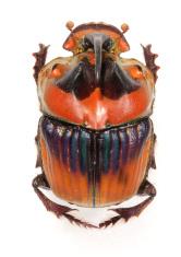 Rhinoceros beetle on white