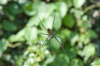 big spider in a bougainvillea