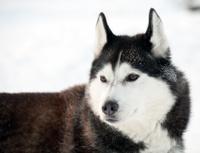 northern sled dog