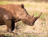 White Rhino in Profile