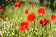 Poppy flowers (papaver rhoeas)