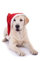 retriever puppy wearing a santa hat