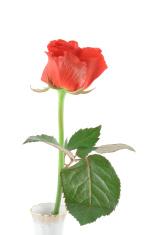 beautiful rose on white (in vase) #2