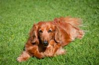 Friendly dachshund