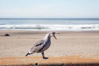 Ocean Beach Squawk