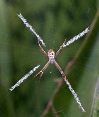 Spider, St Andrew's Cross