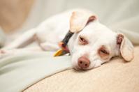 Sleeping mutt dog