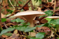 Mycena mushroom.
