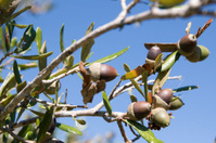 Acorns on Tree