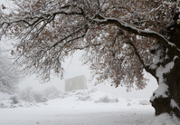 Snow covered oak tree and ruin on foggy day