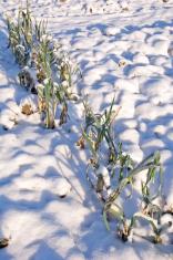Snowy vegetable garden bed with leek