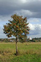 Lonely rowan tree on meadow