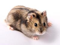 Hamster - Winter White