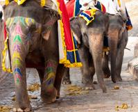 Indian Elephants at Amber Fort, Jaipur