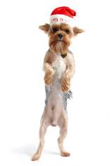 Yorkshire terrier in Santa Paws hat