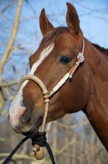 Horse Head Shot Wearing New Halter