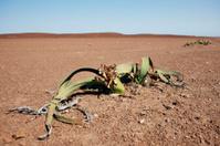 Welwitschia in the desert of Africa.