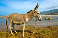 Haiti, Sud-Est Province, donkey.