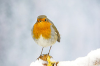 Robin in wintertime