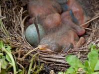 blackbird baby - 4 days old