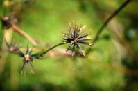 cobbler's pegs weed prickle