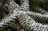 Araucaria araucana in winter time