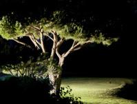 Pine tree near golf field