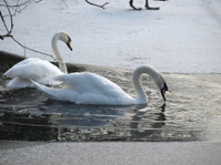Swans in frozen lake