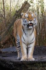 Sibarian Tiger